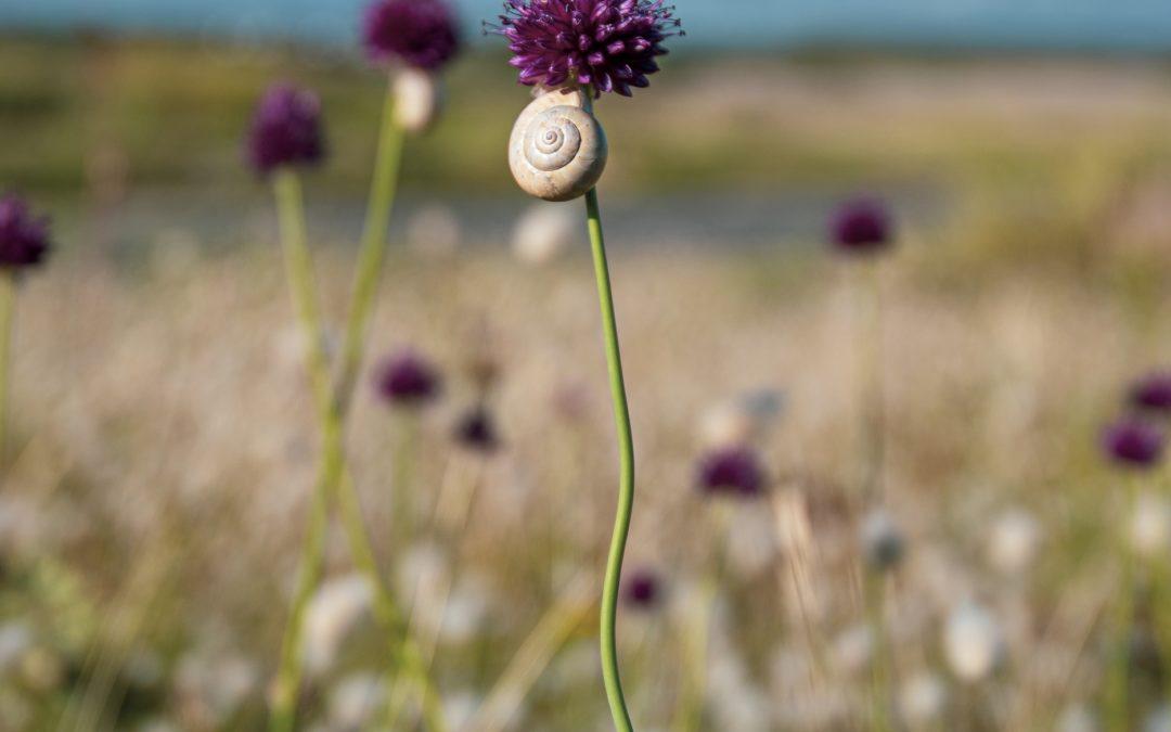 Fleur de Sardine (Arméria) à Gâvres